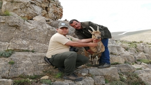 Aladağlar Yaban Hayatı Geliştirme Sahasındaki Yaban Keçisi Popülasyonu Artıyor