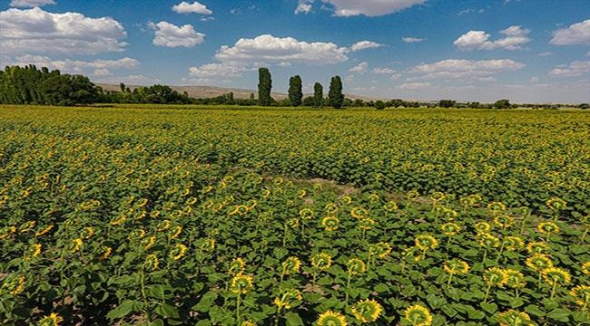 120 bin dekara çerezlik ayçiçeği ekildi