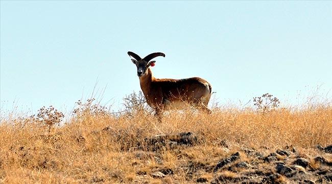 Nesli tehlike altında bulunan Anadolu yaban koyunu Bozkırda yetiştirilecek